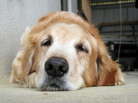 Sleepy Golden Retriever Stock photo [1762716] Golden