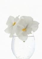 Neat white pansy Stock photo [1768001] Pansy
