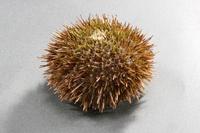 Sea Urchin Sea