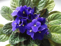 African violet Stock photo [1862461] Flower