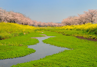 Fukuoka Prefecture Chikuzen Kusaba River cherry trees Stock photo [1862604] Cherry