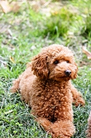 Toy poodle Stock photo [1863336] Dogs