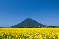 Rape field and Kaimondake Stock photo [1863528] Kagoshima