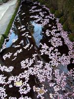 小川を流れる桜の花びら