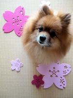 Cherry decoration and Pomeranian Stock photo [1868156] Dogs