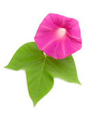 Pink morning glory Stock photo [1871518] Morning