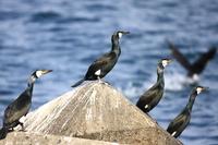 Japanese cormorant Stock photo [1875988] Japanese