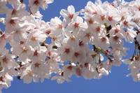 Blue sky and full bloom Yoshino cherry tree Stock photo [1980440] Sakura
