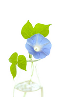 Vase of morning glory Stock photo [1984564] Morning
