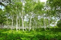 Yachiho plateau birch forest Nagano Prefecture Stock photo [2085112] Birch