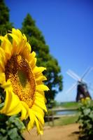 Windmill and sunflower Stock photo [2085251] Windmill