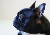 French bulldog profile Stock photo [2086774] Bulldog