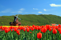 Tulips and windmills Stock photo [2088524] Tulip