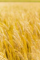 Wheat Stock photo [2095734] Wheat