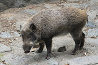 Doya face of wild boar Stock photo [2184379] Wild