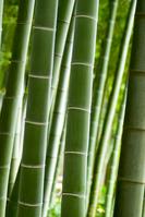 Moso bamboo Stock photo [2186985] Bamboo