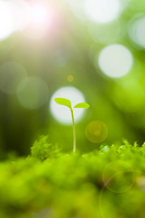 Futaba sprout in the sunshine Stock photo [2189565] And