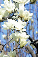 Yulan magnolia Stock photo [2315766] Magnolia,