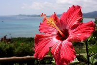 Hibiscus and the sea Stock photo [2315938] Hibiscus