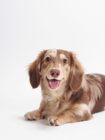 Laugh Dachshund Stock photo [2318597] Dachshund