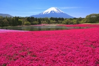 Phlox and Mount Fuji Stock photo [2319723] Mt.