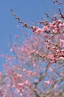 Plum Stock photo [2441427] Prunus