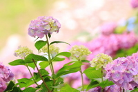 Hydrangea Stock photo [2441679] Flower