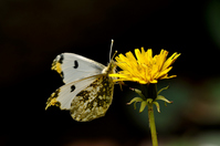 Anthocharis scolymus Stock photo [2442167] Butterfly