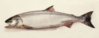 Salmon Stock photo [2442841] Fish