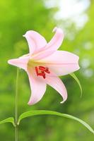 Sasayuri Stock photo [2448853] Flower