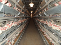 Poultry house Stock photo [2449670] Chicken