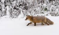 Winter fox stock photo