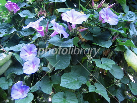 Morning glory and dark green leaves of blue-violet Photo