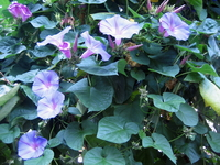 Morning glory and dark green leaves of blue-violet Stock photo [68745] Morning