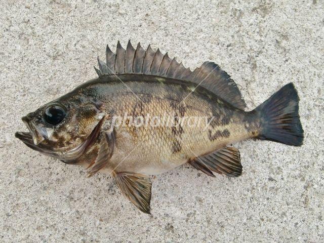 Rockfish Photo