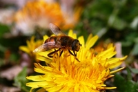 Dandelion and hoverflies Stock photo [2565304] Hoverflies