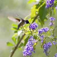 Hummingbird to suck the nectar Stock photo [2566165] Hummingbird