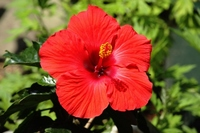 Hibiscus Stock photo [2571076] Hibiscus