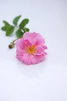Bulgarian Rose Stock photo [2571228] Rose