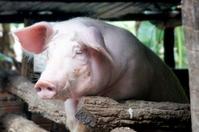 Pig Stock photo [2572769] Pig