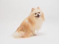 Pomeranian you laugh turned around Stock photo [2575851] Pomeranian