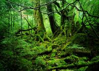 Forest of Princess Mononoke Shiratani Unsuikyo Stock photo [2576379] Yakushima