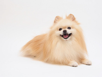 The smile Pomeranian Stock photo [2578166] Pomeranian