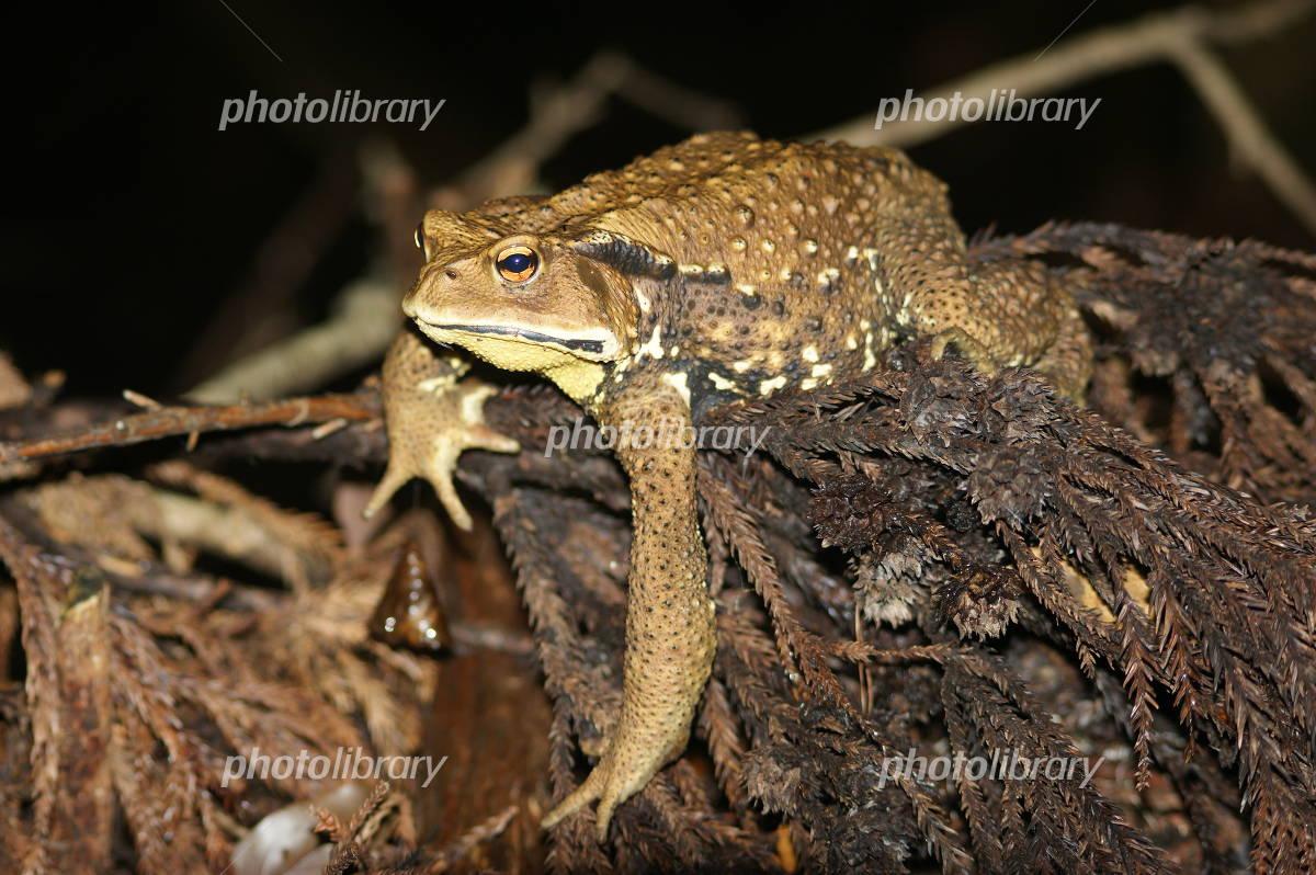 ニホンヒキガエルの画像 p1_24