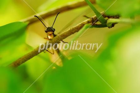 ウスバカゲロウの画像 p1_30