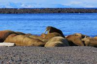 Spitsbergen walrus herd Stock photo [2670504] Landscape