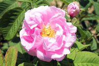 Sen party Folia Rose of southern France Grasse Stock photo [2671801] Sen