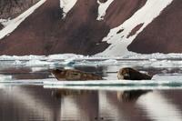 Bearded seal Stock photo [2674378] Landscape