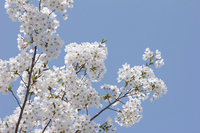 Yoshino cherry tree branches in full bloom Stock photo [2674994] Cherry
