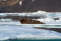 Bearded seal Stock photo [2675548] Landscape